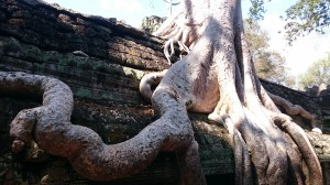 Fenomenal trees in Ta Phrom
