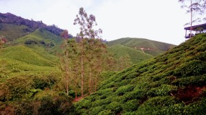 Wonderful tea plantages