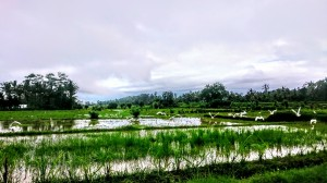 Rice fields with herons