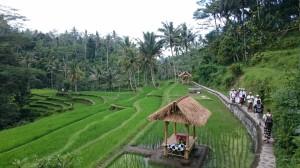 Rice fields in Gunung Kawi