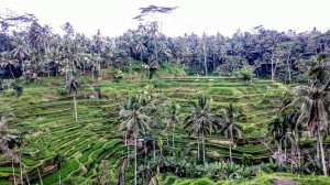 Rice fields in Tegallalang