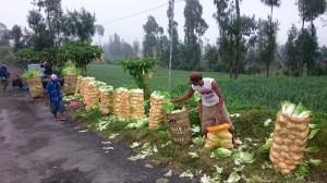 Salad harvest